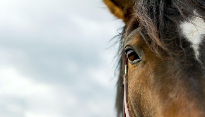Tunca Çaylant: Hogyan halnak a városi lovak?